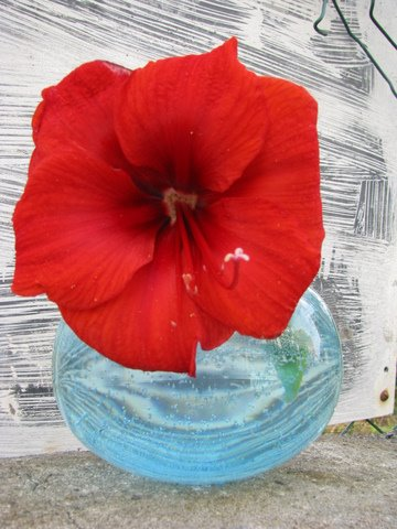 Red  Amaryllis Blue Vase