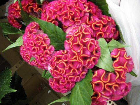 Pink and orange celosia