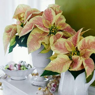 Poinsettias Done right 4