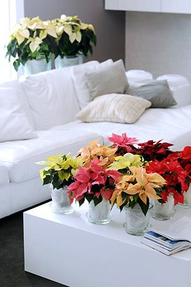Poinsettias Done Right 1