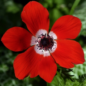 Red_Anemone_Fresh_Flower_300
