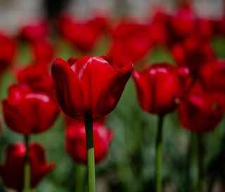 Red tulips B