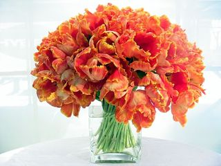 Orange tulip mg