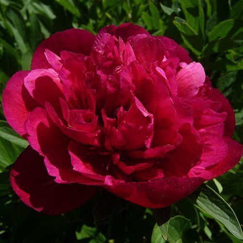 Red Peony Flower Red peonyRed Peony Flower