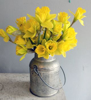 Daffodils in can DS
