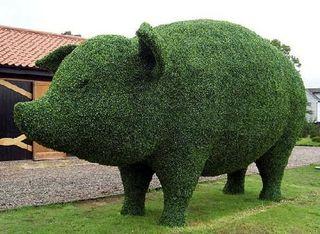 Grn pig