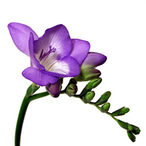 Purple flower N
