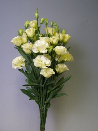 Lisianthus white C