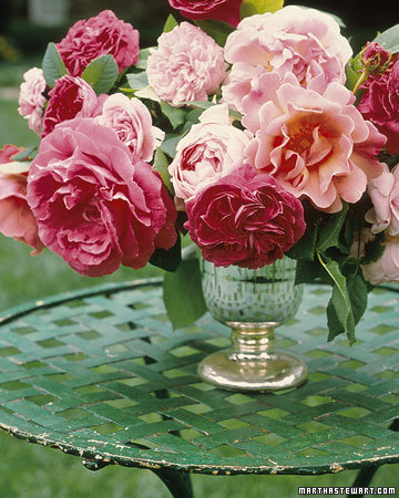 Garden Rose MS ZZ