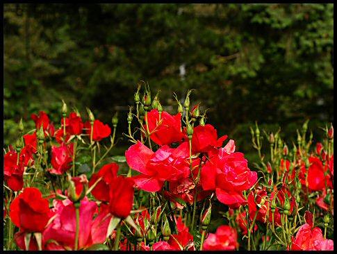 Garden Rose Red Bush