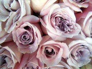 Roseline roses