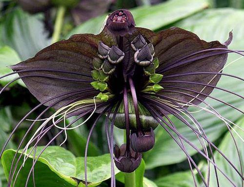 Bat Flower A