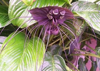Bat flower B Purple