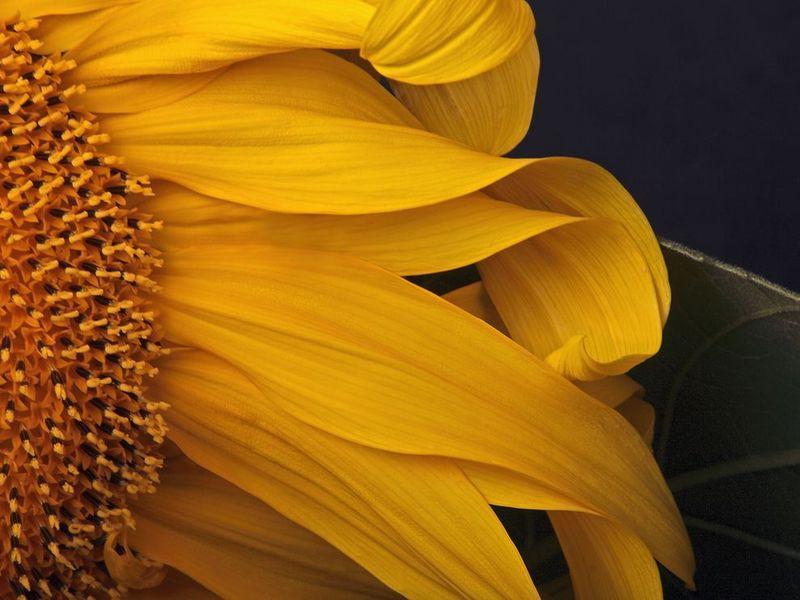Sunflower - rick barich
