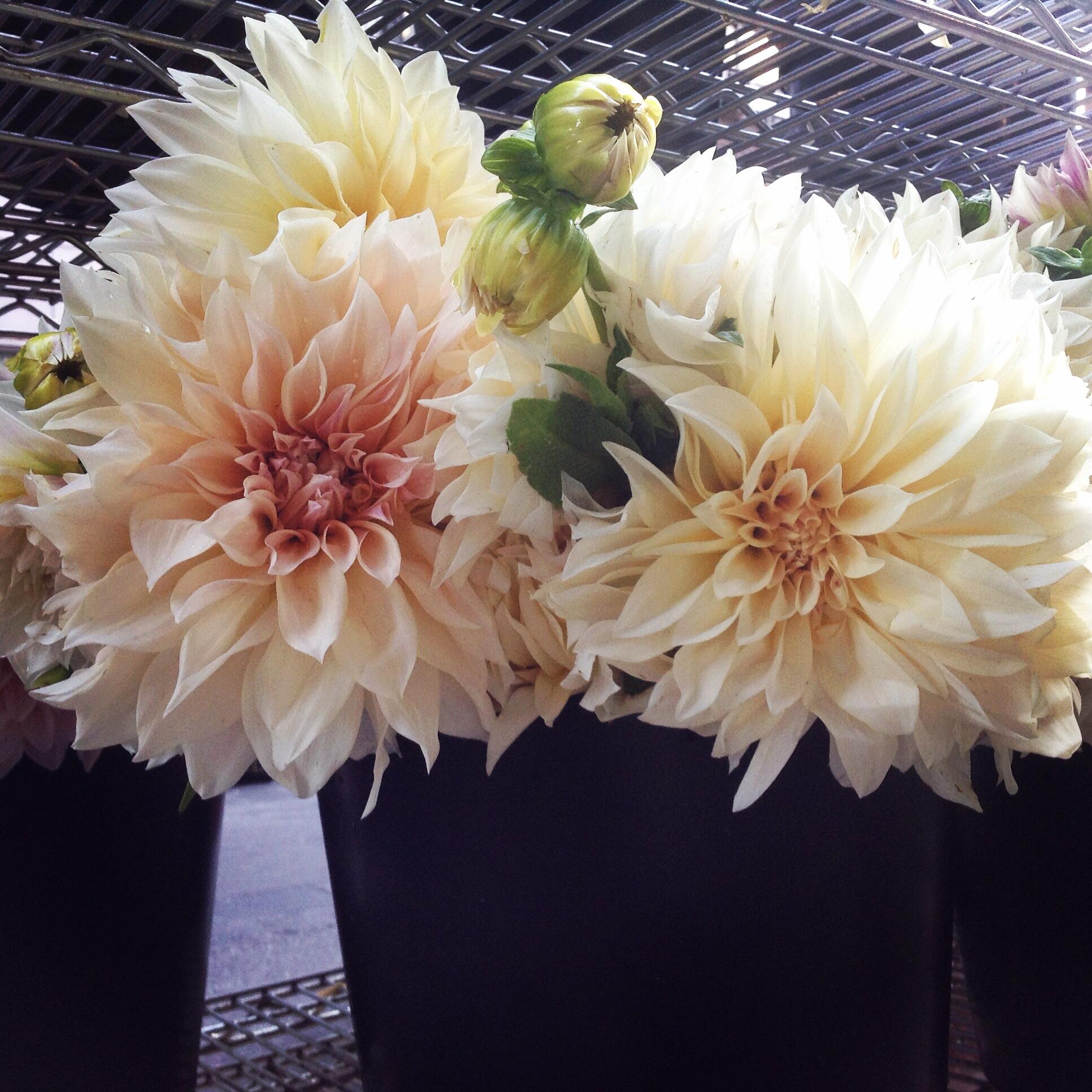 First come flowers flowers blush dahlia fm dhlflorist Gallery