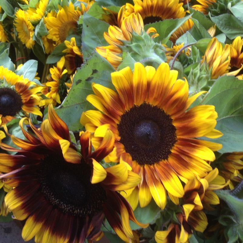Sunflower FMTTMF